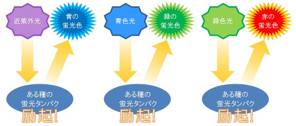 光波長と蛍光タンパク励起状態